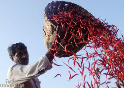 Red hot chili peppers in Orissa India