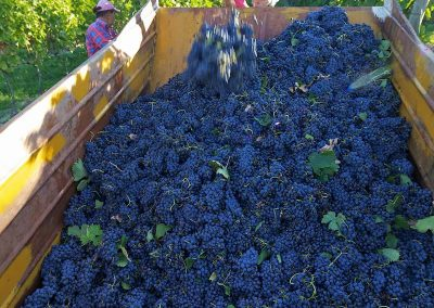 Grapes ready to become wine in Italiy