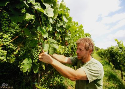 Klaus Zimmerling at work with his Riesling grapes in  Dresden