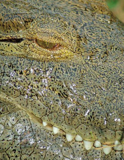 A crocodile at arm's length.